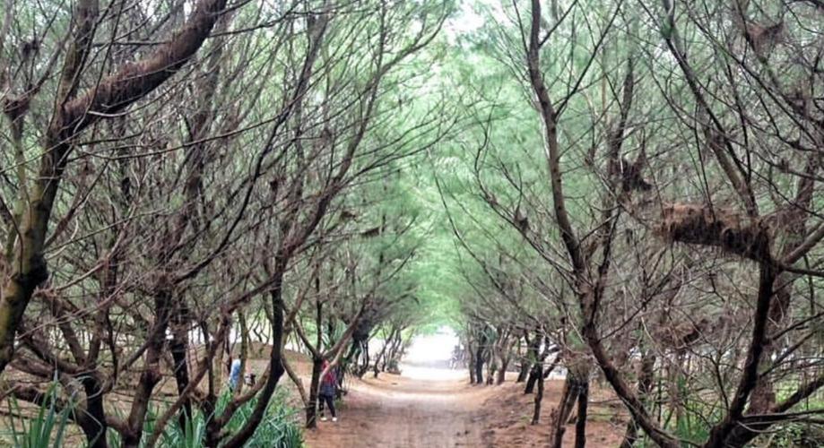 Pantai Goa Cemara Yogyakarta, Pantai Khas Pepohonan Cemara